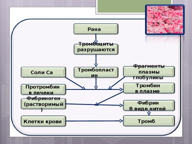 Рана Тромбоциты разрушаются Фрагменты плазмы глобулины Соли Са Тромбопластин Тромбин в плазме Протромбин в печени Фибриноген (растворимый ) Фибрин В виде нитей Тромб Клетки крови
