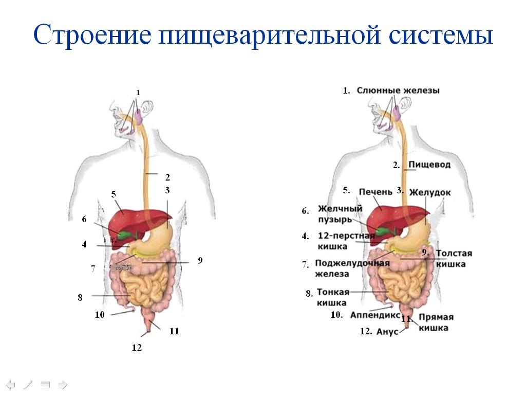 Пищеварительная система человека в картинка