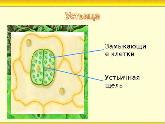 Замыкающие клетки Устьичная щель В кожице листа есть особая покровная ткань. Ты видишь какие-то