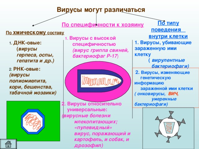 Вирусы могут различаться По типу поведения внутри клетки По специфичности к хозяину По хмическому составу 1. Вирусы с высокой специфичностью   (вирус гриппа свиней, бактериофаг Р-17 ) 1. Вирусы, убивающие зараженную ими клетку  ( вирулентные  бактериофаги)  1 . ДНК-овые: ( вирусы герпеса, оспы, гепатита и др.)  2 . РНК-овые:  (вирусы полиомиелита, кори, бешенства, табачной мозаики)  2. Вирусы, изменяющие  генетическую информацию  зараженной ими клетки ( онковирусы, ВИЧ,  умеренные бактериофаги) 2. Вирусы относительно  универсальные:  (вирусные болезни  млекопитающих;  «пулевидный»  вирус, поражающий и  картофель, и собак, и  дрозофил)