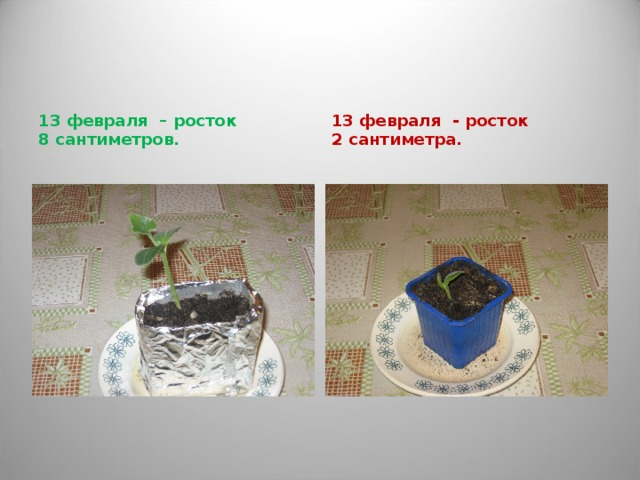 13 февраля – росток 8 сантиметров. 13 февраля - росток 2 сантиметра.