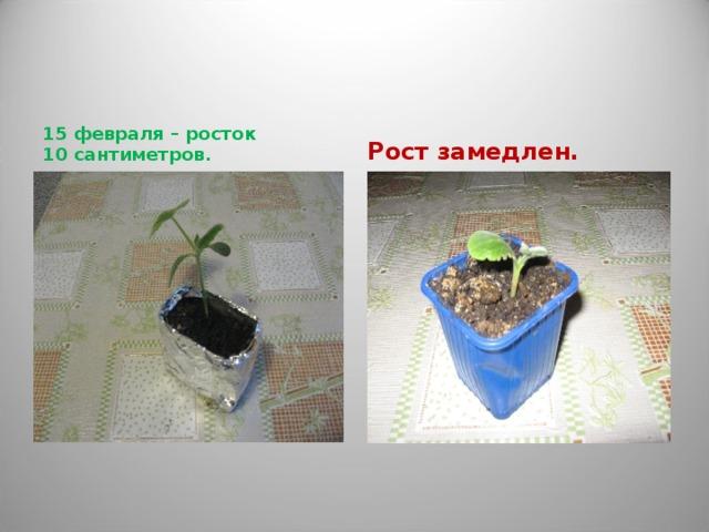 15 февраля – росток 10 сантиметров. Рост замедлен.