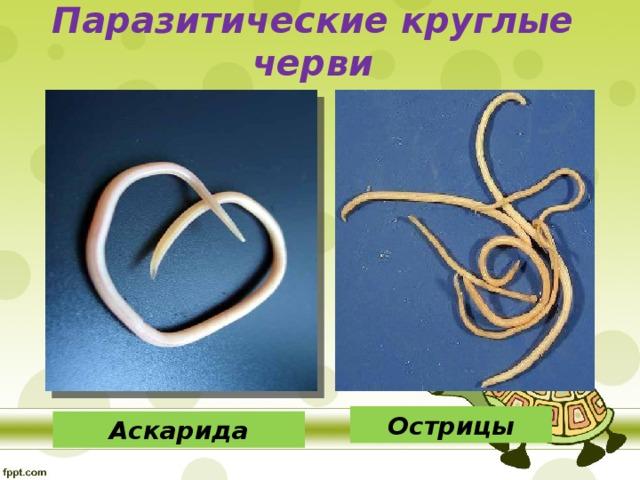 Паразитические круглые черви Острицы Аскарида