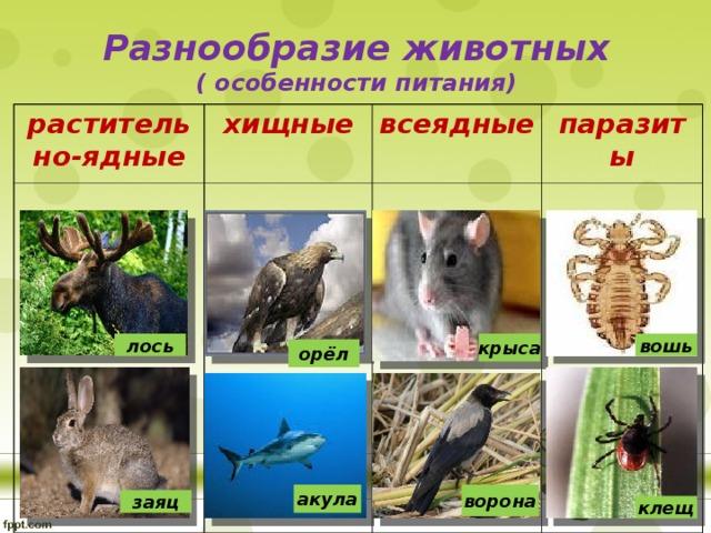 Разнообразие животных  ( особенности питания) растительно-ядные хищные всеядные паразиты крыса лось вошь орёл ворона акула заяц клещ