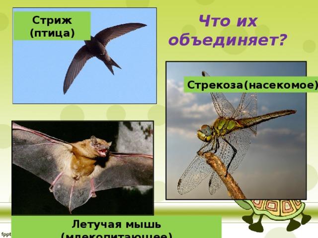 Стриж (птица) Что их объединяет? Стрекоза(насекомое) Летучая мышь (млекопитающее)