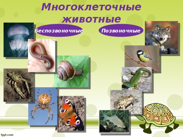 Многоклеточные животные Беспозвоночные Позвоночные