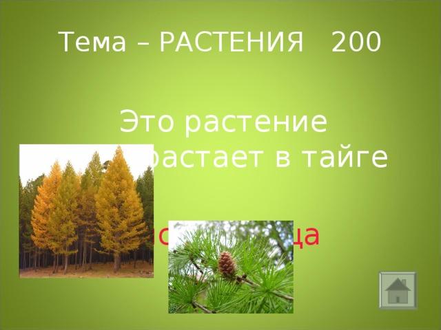 Тема – РАСТЕНИЯ 200  Это растение произрастает в тайге  лиственница