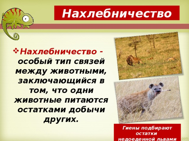 Нахлебничество Нахлебничество - особый тип связей между животными, заключающийся в том, что одни животные питаются остатками добычи других. Гиены подбирают остатки недоеденной львами добычи