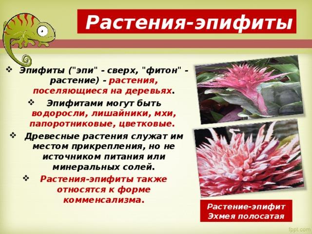 Растения-эпифиты Эпифиты (