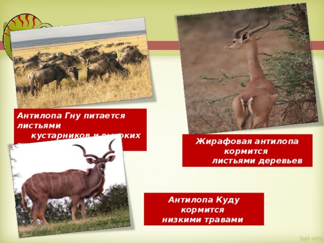 Антилопа Гну питается листьями  кустарников и высоких трав Жирафовая антилопа кормится  листьями деревьев Антилопа Куду кормится низкими травами