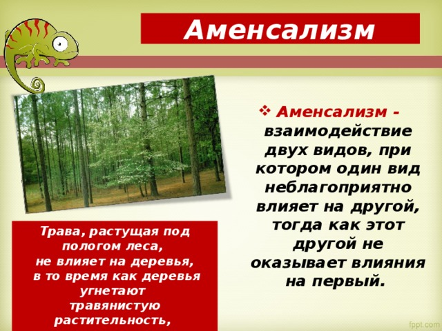 Аменсализм Аменсализм - взаимодействие двух видов, при котором один вид неблагоприятно влияет на другой, тогда как этот другой не оказывает влияния на первый. Трава, растущая под пологом леса, не влияет на деревья,  в то время как деревья угнетают травянистую растительность, поглощая и отражая значительную часть света.