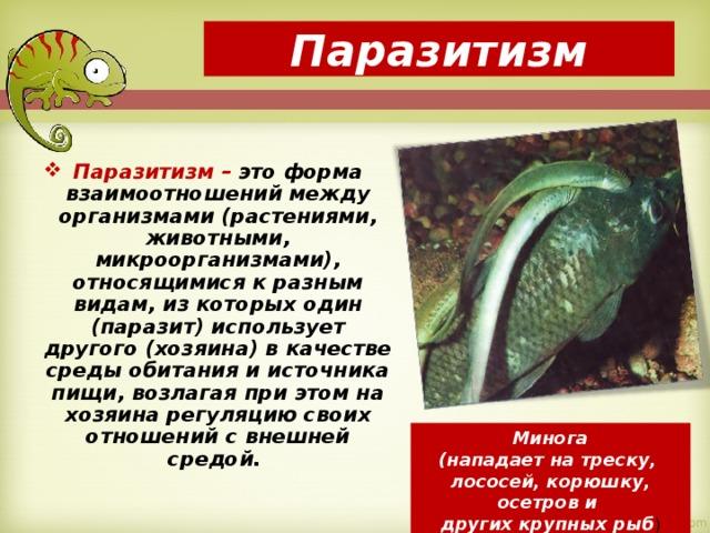 Паразитизм Паразитизм – это форма взаимоотношений между организмами (растениями, животными, микроорганизмами), относящимися к разным видам, из которых один (паразит) использует другого (хозяина) в качестве среды обитания и источника пищи, возлагая при этом на хозяина регуляцию своих отношений с внешней средой.  Минога (нападает на треску, лососей, корюшку, осетров и других крупных рыб )