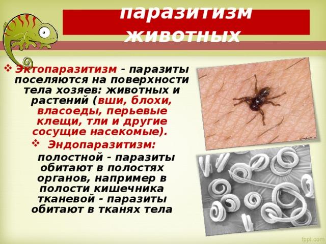 паразитизм животных Эктопаразитизм - паразиты поселяются на поверхности тела хозяев: животных и растений ( вши, блохи, власоеды, перьевые клещи, тли и другие сосущие насекомые). Эндопаразитизм:  полостной - паразиты обитают в полостях органов, например в полости кишечника тканевой - паразиты обитают в тканях тела