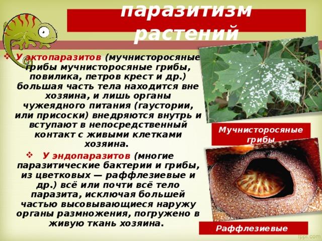 паразитизм растений У эктопаразитов (мучнисторосяные грибы мучнисторосяные грибы, повилика, петров крест и др.) большая часть тела находится вне хозяина, и лишь органы чужеядного питания (гаустории, или присоски) внедряются внутрь и вступают в непосредственный контакт с живыми клетками хозяина. У эндопаразитов (многие паразитические бактерии и грибы, из цветковых — раффлезиевые и др.) всё или почти всё тело паразита, исключая большей частью высовывающиеся наружу органы размножения, погружено в живую ткань хозяина. Мучнисторосяные грибы Раффлезиевые