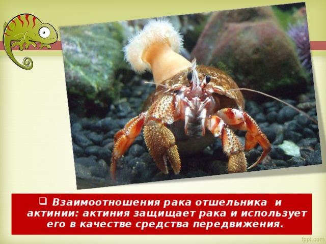 Взаимоотношениярака отшельника и актинии:актиниязащищает рака и использует его в качестве средства передвижения.