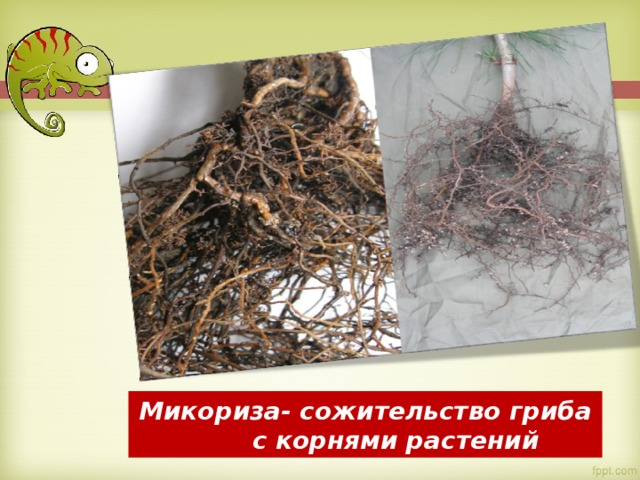 Микориза- сожительство гриба  с корнями растений