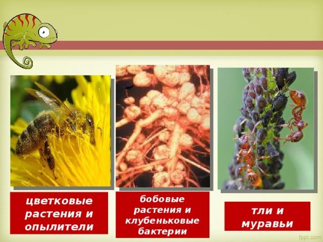 бобовые растения и клубеньковые бактерии цветковые растения и опылители тли и муравьи