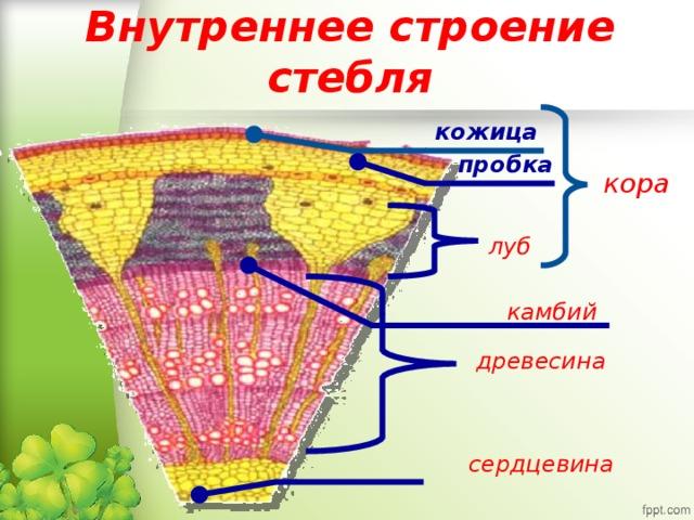 Строение стебля Сердцевина Луб Кора Камбий Древесина