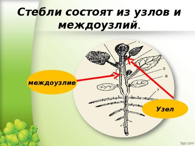 Стебли состоят из узлов и междоузлий . междоузлие Узел