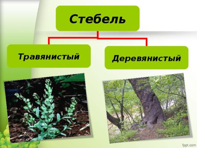 Стебель Травянистый Деревянистый