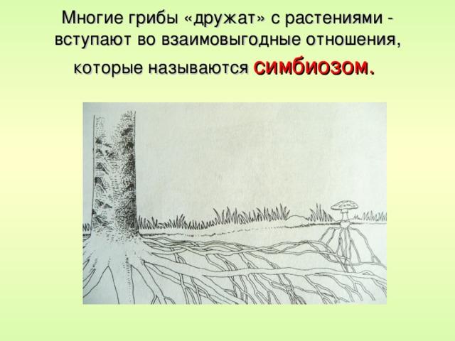 Многие грибы «дружат» с растениями - вступают во взаимовыгодные отношения, которые называются симбиозом.