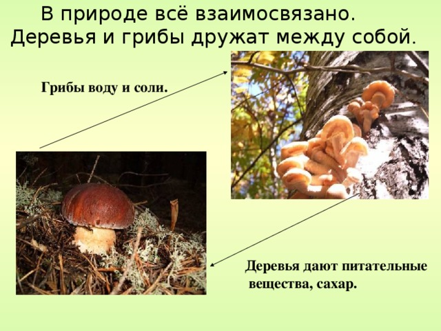 В природе всё взаимосвязано. Деревья и грибы дружат между собой .  Грибы воду и соли. Деревья дают питательные  вещества, сахар.