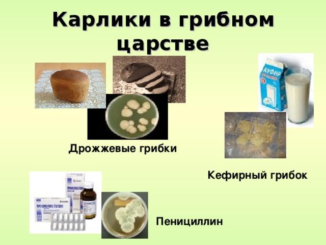 Карлики в грибном царстве Дрожжевые грибки Кефирный грибок Пенициллин