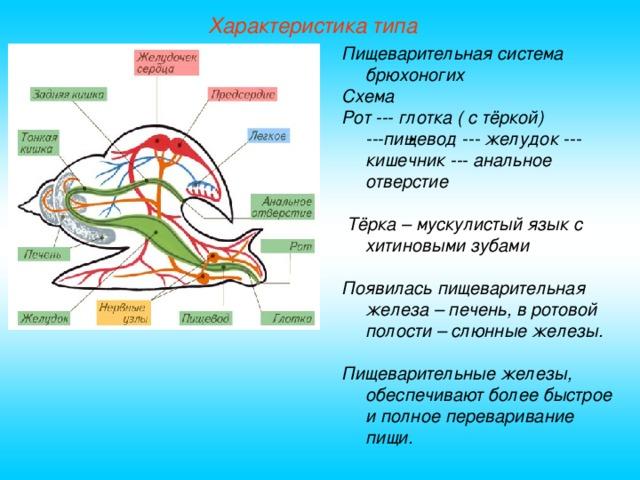 Характеристика типа Пищеварительная система брюхоногих Схема Рот --- глотка ( с тёркой) ---пищевод --- желудок --- кишечник --- анальное отверстие   Тёрка – мускулистый язык с хитиновыми зубами  Появилась пищеварительная железа – печень, в ротовой полости – слюнные железы.  Пищеварительные железы, обеспечивают более быстрое и полное переваривание пищи.