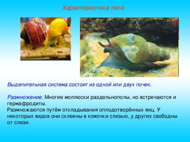 Характеристика типа Выделительная система состоит из одной или двух почек.  Размножение.  Многие моллюски раздельнополы, но встречаются и гермафродиты. Размножаются путём откладывания оплодотворённых яиц. У некоторых видов они склеены в комочки слизью, у других свободны от слизи.