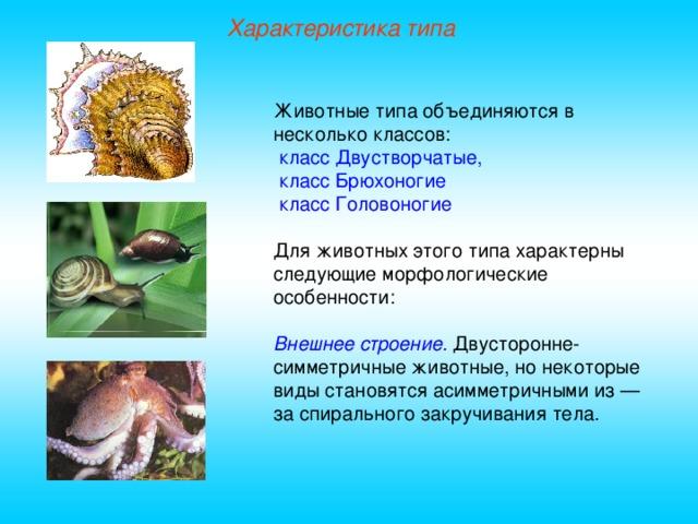 Характеристика типа Животные типа объединяются в несколько классов:  класс Двустворчатые,  класс Брюхоногие   класс Головоногие Для животных этого типа характерны следующие морфологические особенности: Внешнее строение. Двусторонне-симметричные животные, но некоторые виды становятся асимметричными из — за спирального закручивания тела.