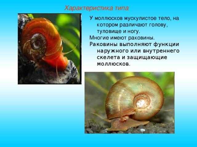 Характеристика типа У моллюсков мускулистое тело, на котором различают голову, туловище и ногу. Многие имеют раковины. Раковины выполняют функции наружного или внутреннего скелета и защищающие моллюсков.