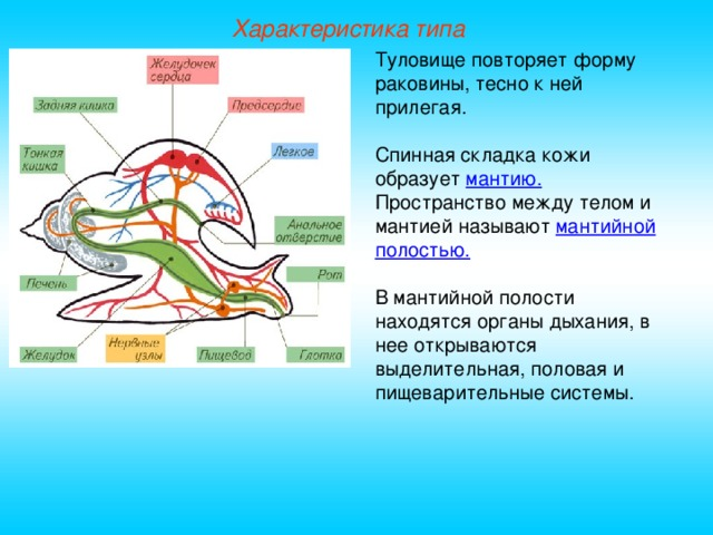 Характеристика типа Туловище повторяет форму раковины, тесно к ней прилегая. Спинная складка кожи образует мантию. Пространство между телом и мантией называют мантийной полостью.  В мантийной полости находятся органы дыхания, в нее открываются выделительная, половая и пищеварительные системы.