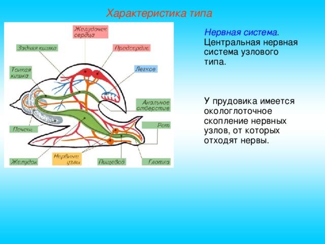 Характеристика типа Нервная система . Центральная нервная система узлового типа. У прудовика имеется окологлоточное скопление нервных узлов, от которых отходят нервы.