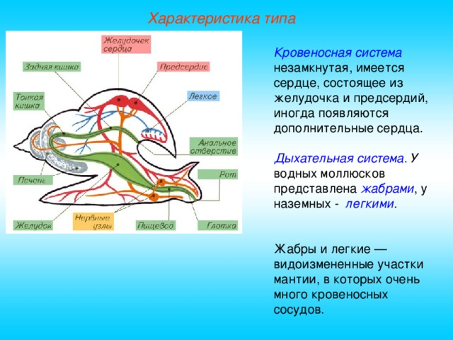 Характеристика типа Кровеносная система  незамкнутая, имеется сердце, состоящее из желудочка и предсердий, иногда появляются дополнительные сердца. Дыхательная система. У водных моллюсков представлена жабрами , у наземных - легкими . Жабры и легкие — видоизмененные участки мантии, в которых очень много кровеносных сосудов.