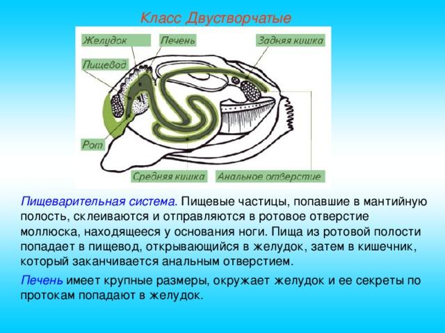 Класс Двустворчатые Пищеварительная система. Пищевые частицы, попавшие в мантийную полость, склеиваются и отправляются в ротовое отверстие моллюска, находящееся у основания ноги. Пища из ротовой полости попадает в пищевод, открывающийся в желудок, затем в кишечник, который заканчивается анальным отверстием. Печень имеет крупные размеры, окружает желудок и ее секреты по протокам попадают в желудок.