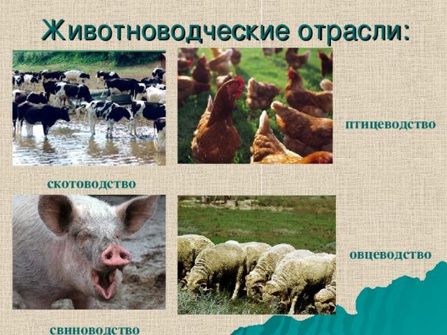 Животноводческие отрасли: птицеводство скотоводство овцеводство свиноводство