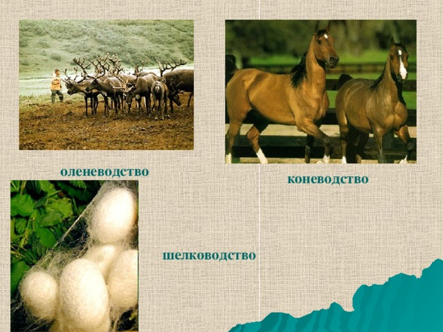 оленеводство коневодство шелководство
