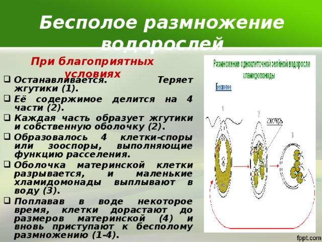 Бесполое размножение водорослей При благоприятных условиях Останавливается. Теряет жгутики (1). Её содержимое делится на 4 части (2). Каждая часть образует жгутики и собственную оболочку (2). Образовалось 4 клетки-споры или зооспоры, выполняющие функцию расселения. Оболочка материнской клетки разрывается, и маленькие хламидомонады выплывают в воду (3). Поплавав в воде некоторое время, клетки дорастают до размеров материнской (4) и вновь приступают к бесполому размножению (1-4).