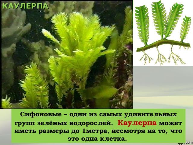 КАУЛЕРПА Сифоновые – одни из самых удивительных групп зелёных водорослей. Каулерпа может иметь размеры до 1метра, несмотря на то, что это одна клетка.