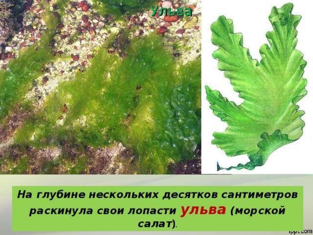 Ульва На глубине нескольких десятков сантиметров раскинула свои лопасти ульва (морской салат ) .