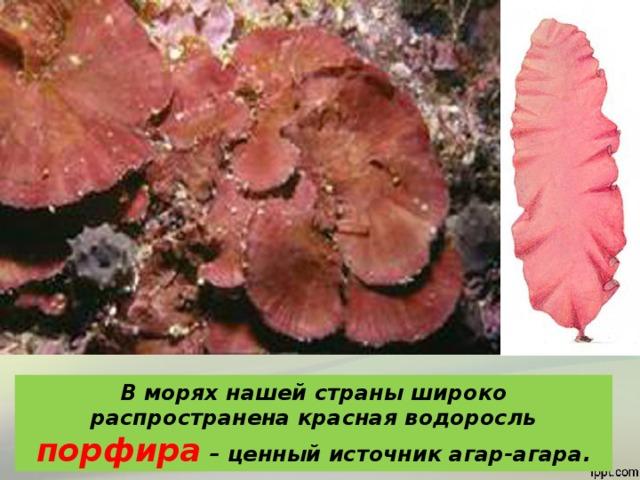 В морях нашей страны широко распространена красная водоросль  порфира  – ценный источник агар-агара.