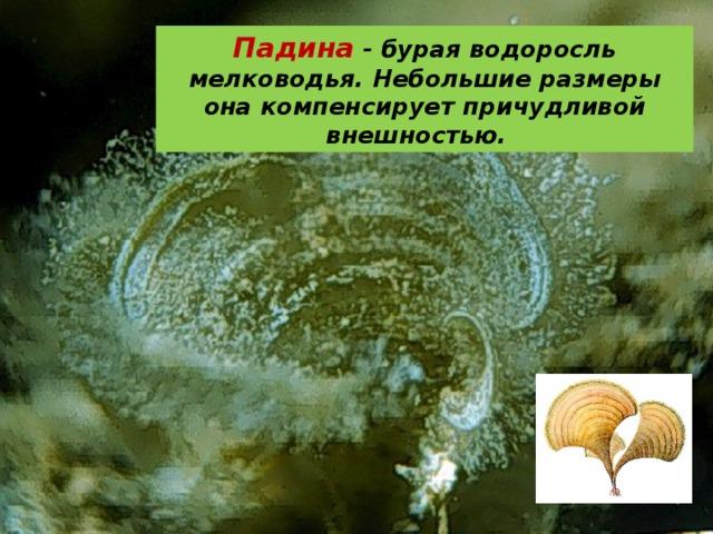 Падина - бурая водоросль мелководья. Небольшие размеры она компенсирует причудливой внешностью.