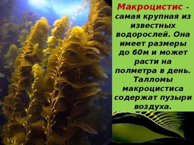 Макроцистис – самая крупная из известных водорослей. Она имеет размеры до 60м и может расти на полметра в день. Талломы макроцистиса содержат пузыри воздуха.
