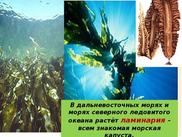 В дальневосточных морях и морях северного ледовитого океана растёт ламинария – всем знакомая морская капуста.