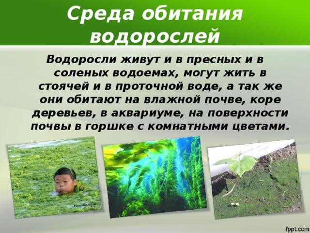 Среда обитания водорослей Водоросли живут и в пресных и в соленых водоемах, могут жить в стоячей и в проточной воде, а так же они обитают на влажной почве, коре деревьев, в аквариуме, на поверхности почвы в горшке с комнатными цветами.