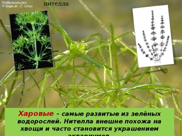 нителла Харовые – самые развитые из зелёных водорослей. Нителла внешне похожа на хвощи и часто становится украшением аквариумов .