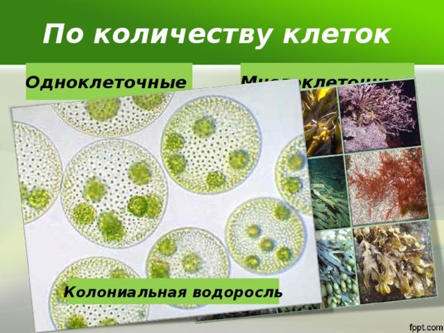 По количеству клеток Одноклеточные Многоклеточные  Колониальная водоросль