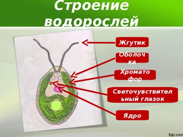 Строение водорослей Жгутик Оболочка Хроматофор Светочувствительный глазок Ядро
