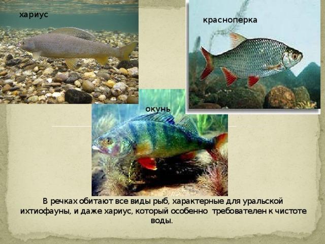 хариус красноперка         В речках обитают все виды рыб, характерные для уральской ихтиофауны, и даже хариус, который особенно требователен к чистоте воды.   окунь