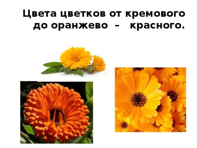 Цвета цветков от кремового до оранжево – красного.